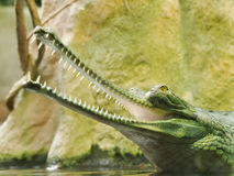 Gharial - Gavialis gangeticus - critically endangered in IUNC Red list Royalty Free Stock Image