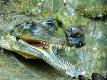 The gharial Gavialis gangeticus Stock Images