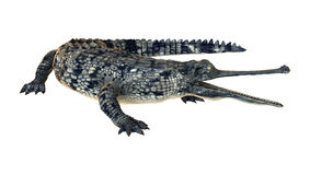 Gharial or Gavialis Gangeticus. 3D digital render of a gharial or Gavialis gangeticus, or gavial, or fish-eating crocodile isolated on white background Royalty Free Stock Photography