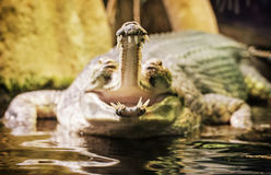 Gharial - Gavialis gangeticus with the horrible jaw, yellow filt Royalty Free Stock Image