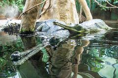 Gharial Royalty Free Stock Photos