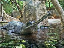 Gharial, Gavialis gangeticus, stands out with a very long jaw. The Gharial, Gavialis gangeticus, stands out with a very long jaw royalty free stock photos