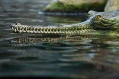 Gharial (Gavialis gangeticus), także zna jako gawial Zdjęcia Stock