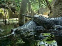 Gharial Gavialisgangeticus, står ut med en mycket lång käke Arkivfoto