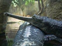 Gharial Gavialisgangeticus, står ut med en mycket lång käke Royaltyfria Foton