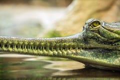 Gharial, kent ook als gavial Stock Foto's