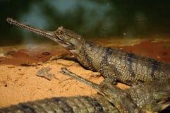 Gharial Krokodil Lizenzfreies Stockfoto
