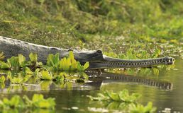 Gharial Krokodil Lizenzfreie Stockbilder