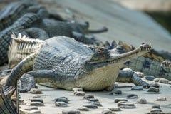 Gharial-Krokodil Gavialis gangeticus, alias das Gavial, wenn Mitte gezüchtet wird lizenzfreie stockfotografie