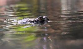 Gharial krokodyla oczy Osiąga szczyt Z wody Obraz Royalty Free