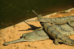 Gharial mother and babies. A pair of gharial babies climbed up over its mother's back. This species is listed as critically endangered due to its fast declining Royalty Free Stock Images