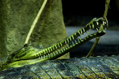 Gharial Royalty Free Stock Photography