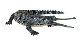 Gharial o gavialis gangeticus Fotografia Stock Libera da Diritti