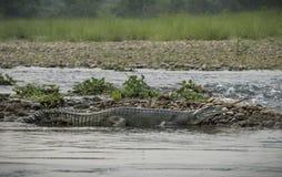 Gharial ou gavial falso no banco de rio Fotos de Stock Royalty Free