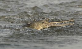 Gharial ou portrait en gros plan gavial faux en rivière Photo stock