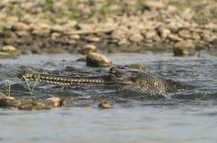 Gharial ou portrait en gros plan gavial faux en rivière Images libres de droits