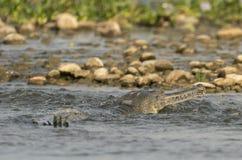 Gharial ou portrait en gros plan gavial faux en rivière Image stock