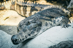Gharial Reptile. Or fish-eating crocodile in the park zoo Royalty Free Stock Images