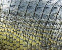 Gharial skin. The skin of Fish-eating crocodile - Gharial Stock Photo