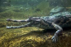 the gharial in the underwater atmosphere of the zoo. royalty free stock photos
