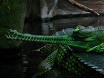 Gharial verde Imágenes de archivo libres de regalías
