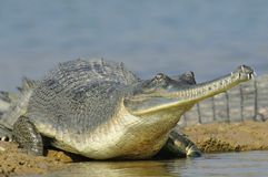 Gharial on the Water's Edge Royalty Free Stock Image