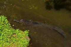 Gharialkrokodil die in een rivier rusten Stock Fotografie