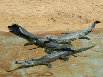 Gharials Royalty Free Stock Photo