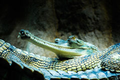 Gharials. A gharial lying on its bigger neighbor Stock Images