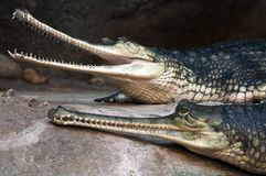 Gharials Stock Image