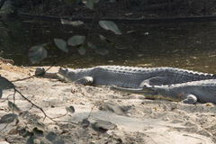 Ghdial crocodile. Crocodile in jungle Royalty Free Stock Photos