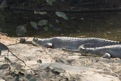Ghdial krokodil Royaltyfria Foton