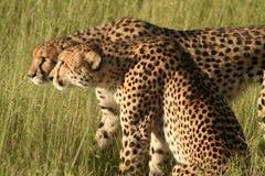 Ghepardi all'indicatore luminoso dorato di pomeriggio, Okavango Immagini Stock Libere da Diritti