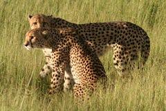Ghepardi all'indicatore luminoso dorato di pomeriggio, Okavango Fotografie Stock