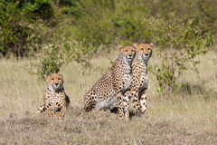 Ghepardi attenti in masai Mara, Kenya Fotografia Stock