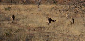 Ghepardi di caccia Fotografie Stock