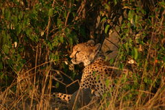Ghepardi di Mara Fotografie Stock Libere da Diritti
