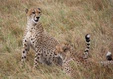 Ghepardi a Mara masai Fotografia Stock Libera da Diritti