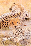Ghepardi in masai Mara Fotografia Stock