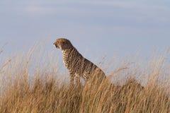 Ghepardi maschii in masai Mara Fotografia Stock