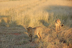 Ghepardi, Namibia Fotografia Stock Libera da Diritti