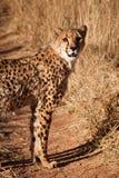 ghepardo Fotografie Stock Libere da Diritti