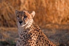ghepardo Fotografia Stock