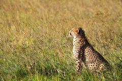Ghepardo in Africa Immagine Stock Libera da Diritti