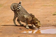 Ghepardo africano Immagini Stock Libere da Diritti