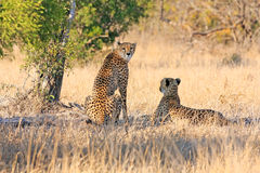 Ghepardo africano Fotografia Stock