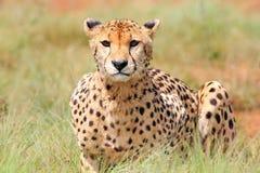 Ghepardo africano Immagine Stock Libera da Diritti