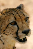 Ghepardo africano fotografie stock
