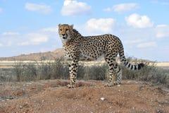 Ghepardo africano Fotografie Stock Libere da Diritti
