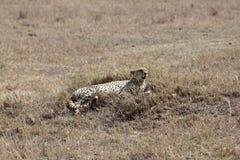 Ghepardo africano Fotografia Stock Libera da Diritti